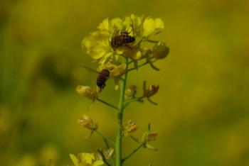 ミツバチ0