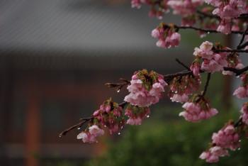 河津桜神殿