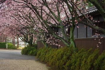 河津桜並木2