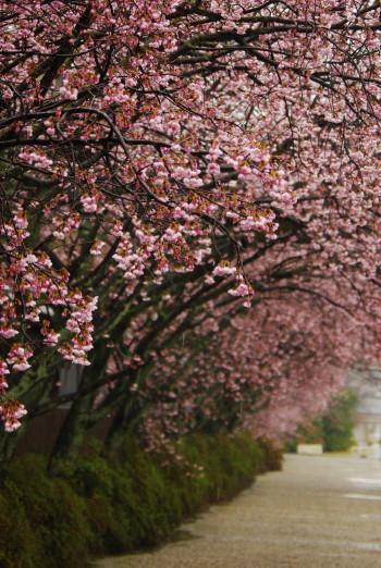 河津桜並木1_1