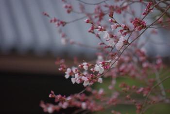 奈良公会堂の桜