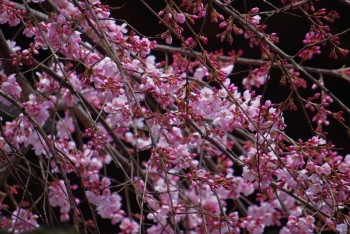 氷室神社枝垂れ桜