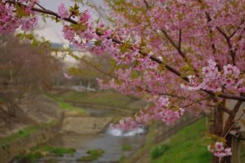 佐保側の桜