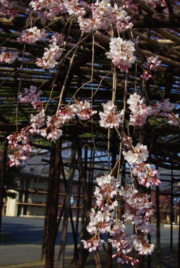 枝垂れの桜