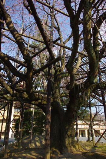 枝垂れの幹
