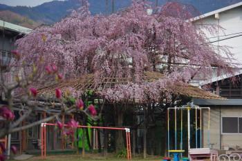 天理幼稚園の枝垂桜