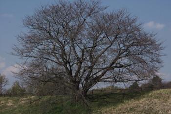 幾坂池の桜
