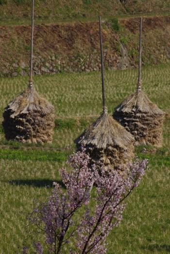 稲淵桜と稲藁