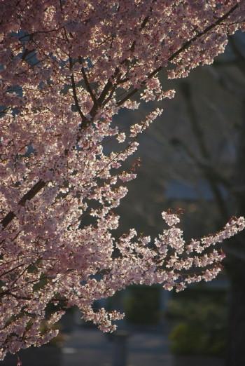 天理教桜エドヒガン