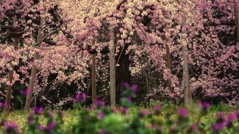枝垂れ桜0