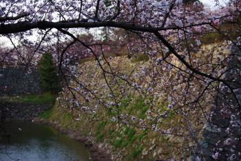 お堀の桜1