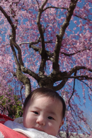 赤ちゃんと桜