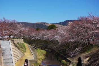 佐保川の桜0
