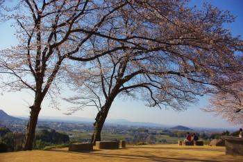 甘樫の丘桜0