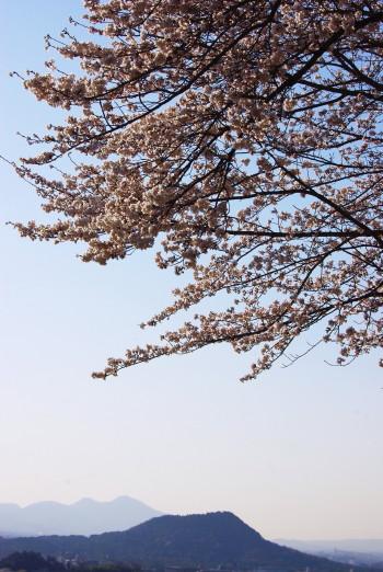 甘樫の丘桜