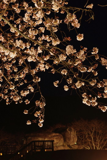 石舞台夜桜0