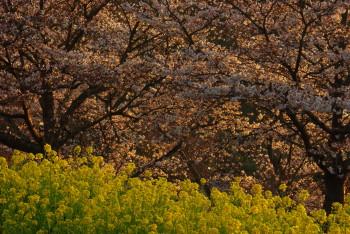 石舞台桜と菜の花