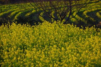 石舞台菜の花