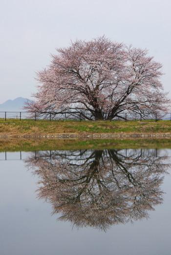 幾坂池の大桜水面