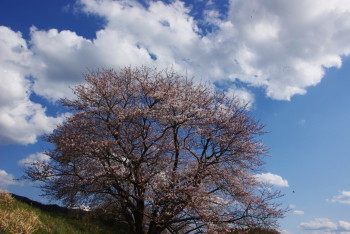 幾坂池の大桜下から