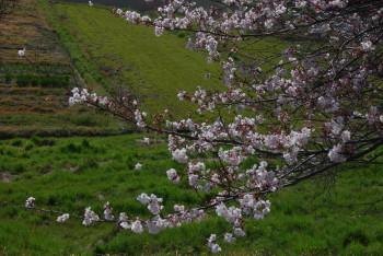幾坂池の大桜 枝