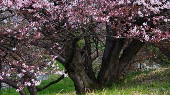 幾坂池の大桜 幹