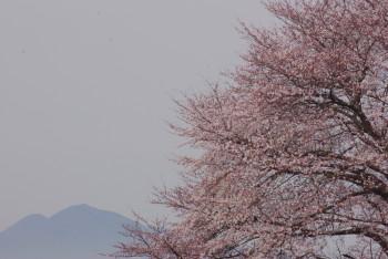 幾坂池の大桜二上山