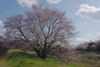 幾坂池の大桜北側
