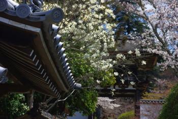 長岳寺モクレンと楼門