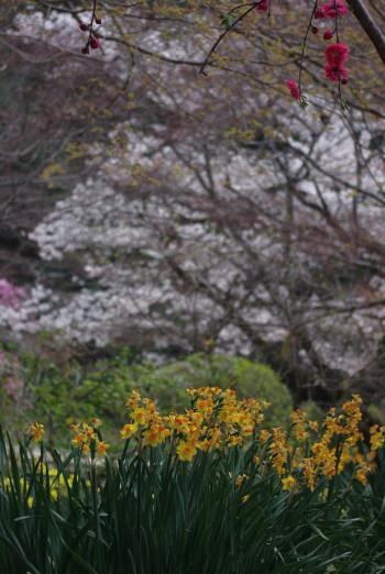 長岳寺スイセンと桜