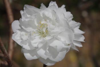 長岳寺八重桜