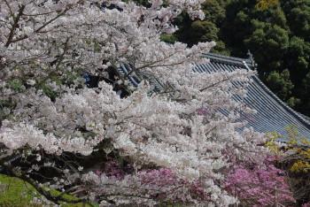 長岳寺桜と本堂の屋根