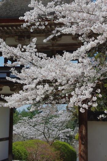 長岳寺楼門と桜
