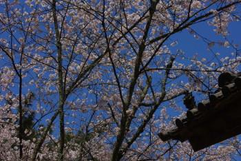 長岳寺鬼瓦と桜