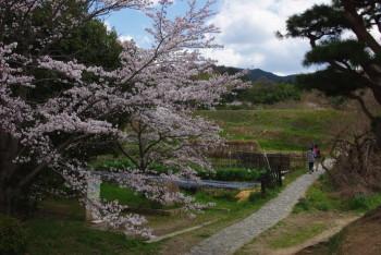 山之辺の道の桜