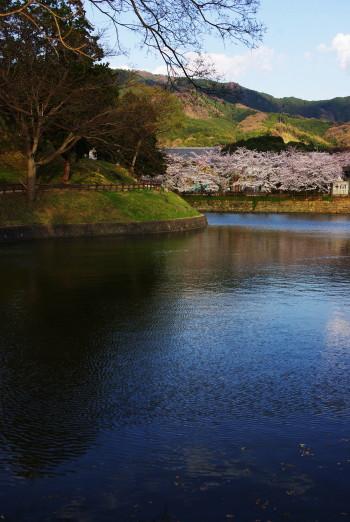黒塚古墳の桜3