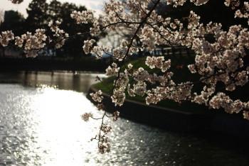 黒塚古墳の桜2