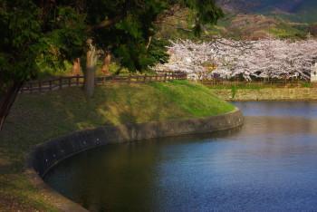 黒塚古墳の桜1