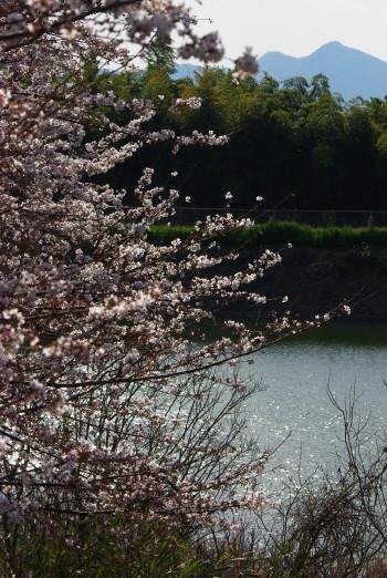 桧原神社 桜