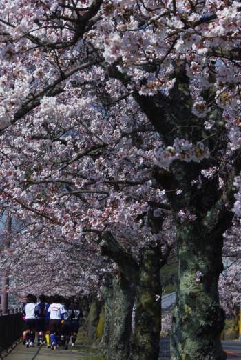 石上神宮歩道の桜