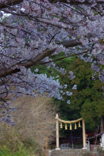 桧原神社鳥居と桜