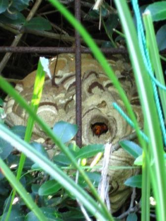 スズメバチ1