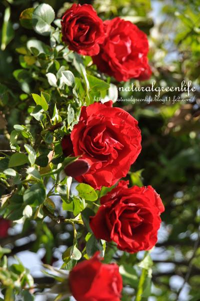 真っ赤なつる薔薇