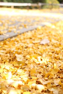 イチョウの絨毯