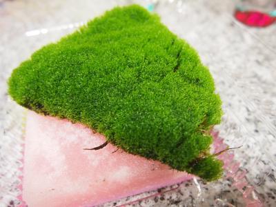 盆栽用の苔を貰ってきました