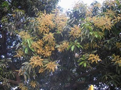 mangoflowers.jpg