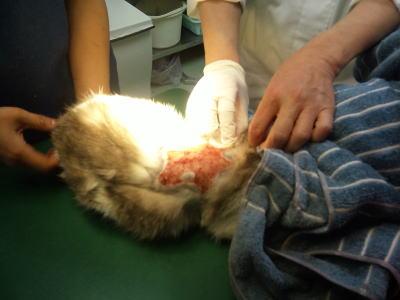 虐待被害猫治療風景