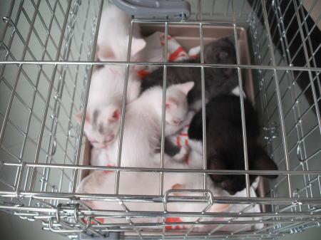 多頭崩壊子猫201106