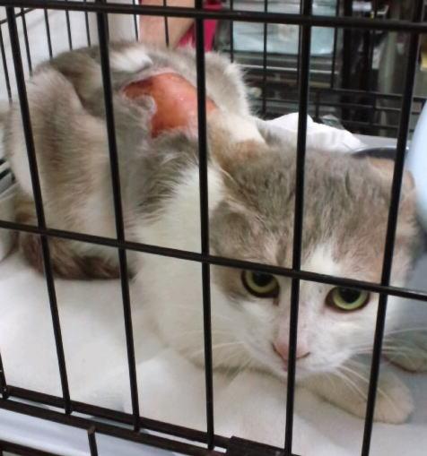 世田谷虐待被害猫エリカ