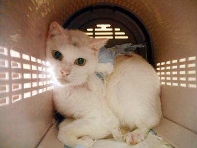 世田谷虐待被害猫ヒナちゃん退院時